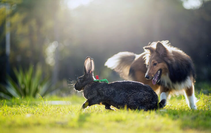 Multi-Pet Households. Can They Work? You Bet! Dog chasing rabbit.