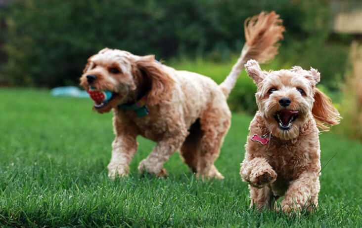 Multi-Pet Households. Can They Work? You Bet! Two dogs playing together.